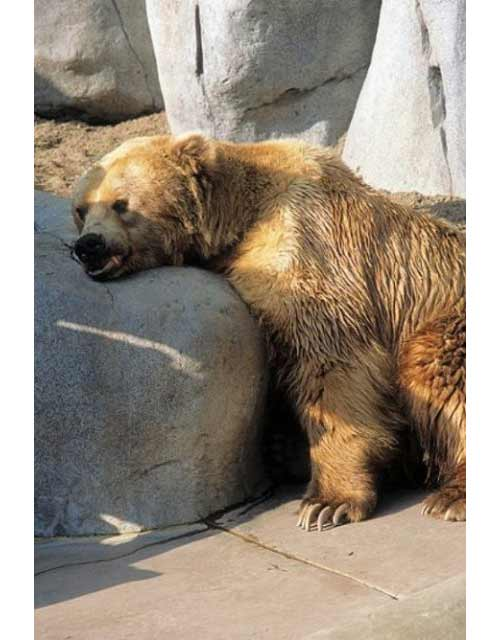 Bear asleep on a rock.