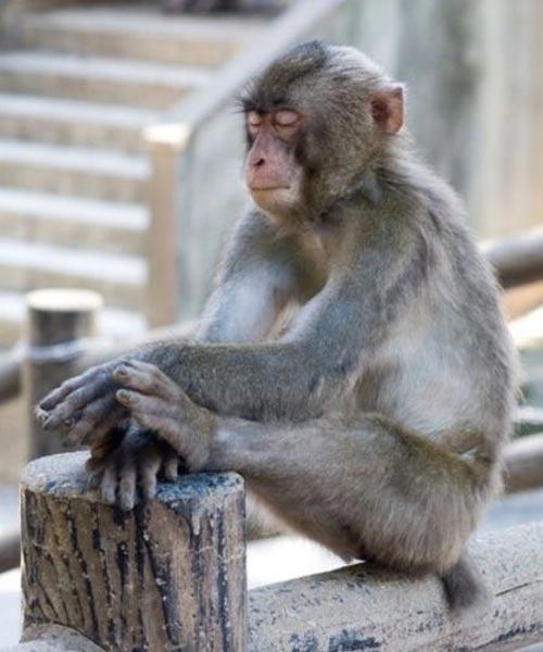 Monkey Resting.