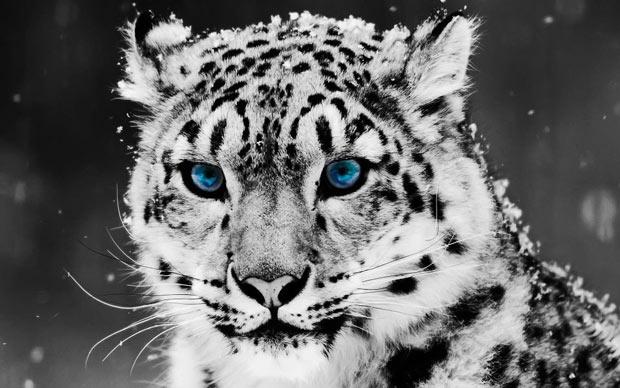 Amazing Snow Leopard Photo.