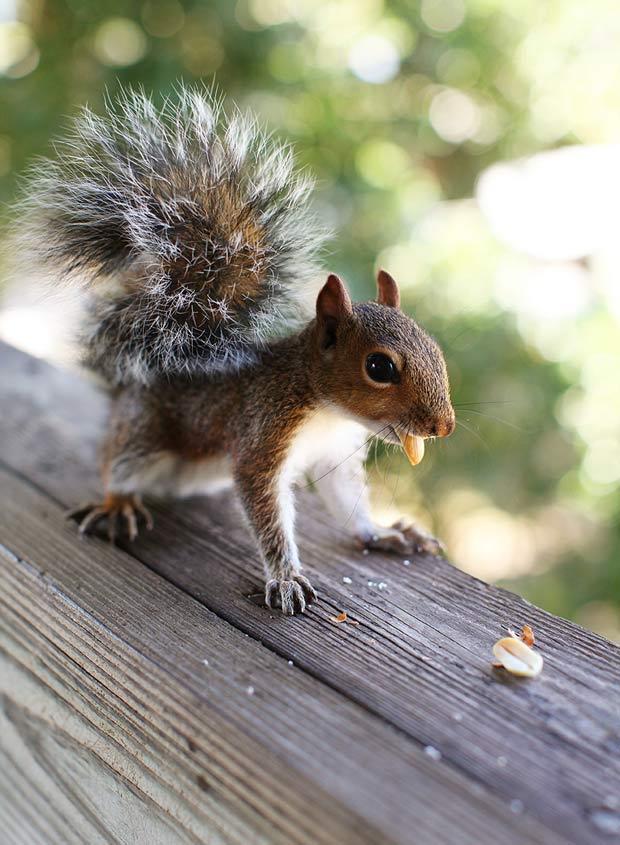 Baby Squirrel Eating Peanuts.
