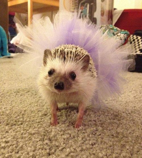 Ballerina Hedgehog