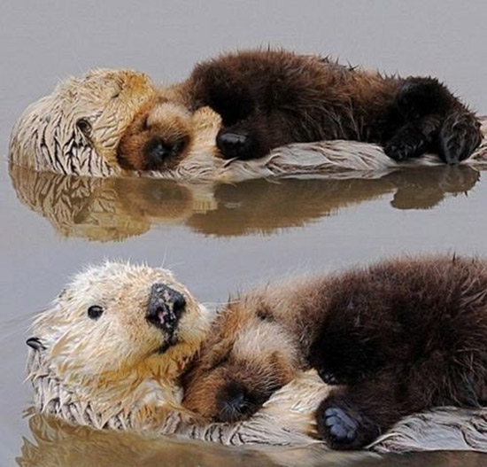Otter Pups, Sleeping on their Parents
