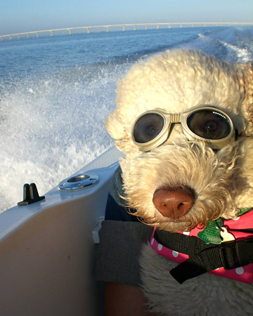 Goldendoodle Riding the Waves