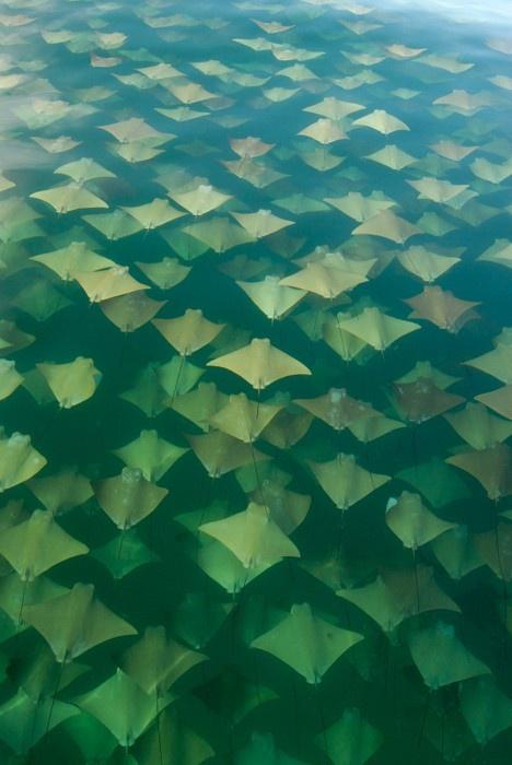 Beautiful Stingray Migration