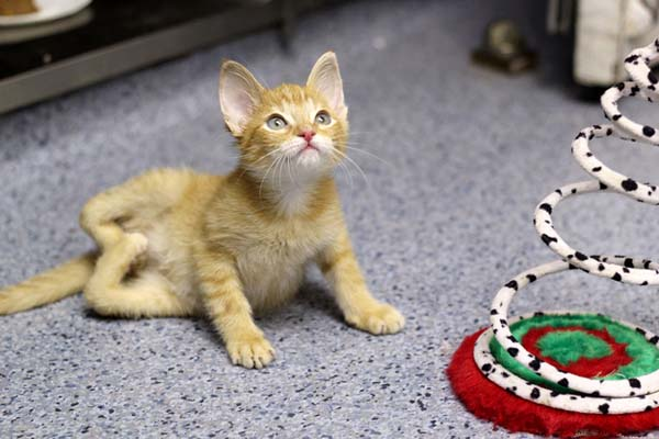 This Kitty Was Born With Backwards Legs. Seeing Him Finally Stand For The First Time Made Me Cry.
